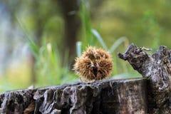 Chestnut in autumn Stock Photos