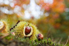 Chestnut in autumn forest Stock Photography