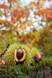 Chestnut in autumn forest Stock Image