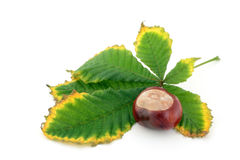 Chestnut and autumn leaf Stock Photo