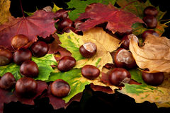 Chestnut and autumn leafs. Chestnut and leafs on black background stock images
