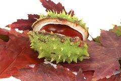 Chestnut on autumn leaves Royalty Free Stock Photos