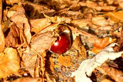 Chestnut in Autumn Leaves stock image