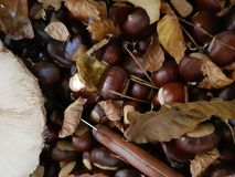 Chestnut. Autumn is the season of the fine chestnut from the forests Royalty Free Stock Image