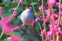 Chestnut backed bird in flowers Stock Photography