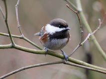 Chestnut-backed Chickadee in the Forest Royalty Free Stock Photos