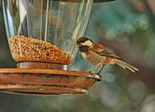 Free Chestnut-backed Chickadee On Bird Feeder Stock Photo - 102907760