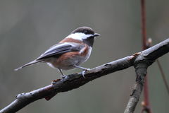 Chestnut-backed Chickadee Royalty Free Stock Images