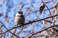 Chestnut-backed chickadee Poecile rufescens perched on a birch tree branch. On a sunny day, San Francisco bay area, California stock image