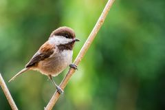 Chestnut-backed chickadee Poecile rufescens perched on a branch. Chestnut-backed chickadee Poecile rufescens perched on branch on a sunny day, San Francisco bay royalty free stock photography