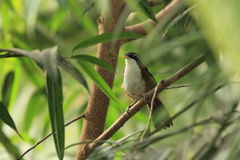Chestnut-backed scimitar babbler Stock Photos