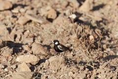 Chestnut backed sparrowlark Eremopterix leucotis royalty free stock photos