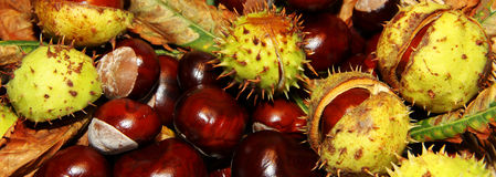 Chestnut background. Chestnuts autumn background with leaves and in a peel royalty free stock images