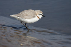 Chestnut-banded Plover Royalty Free Stock Photo
