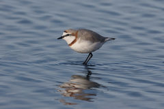 Chestnut-banded plover,  Charadrius pallidus Royalty Free Stock Images