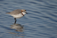 Chestnut-banded plover,  Charadrius pallidus Royalty Free Stock Photo