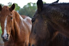A chestnut and bay horse resting together in a paddock royalty free stock photo