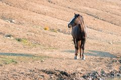 Chestnut Bay Wild Horse Mustang Stallion at watering hole in the Pryor Mountains Wild Horse Range in Montana USA Stock Images