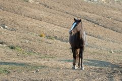 Chestnut Bay Wild Horse Mustang Stallion at watering hole in the Pryor Mountains Wild Horse Range in Montana USA Stock Image