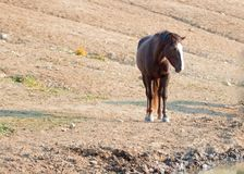 Chestnut Bay Wild Horse Mustang Stallion at watering hole in the Pryor Mountains Wild Horse Range in Montana USA Royalty Free Stock Images