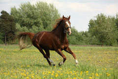 Chestnut beautiful horse galloping at the blooming meadow Stock Photos