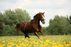 Chestnut beautiful horse galloping at the blooming meadow Royalty Free Stock Photography