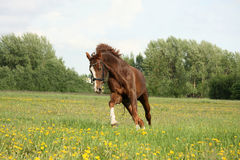 Chestnut beautiful horse galloping at the blooming meadow Royalty Free Stock Images