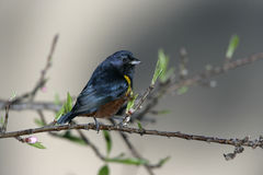 Chestnut-bellied euponia, Euphonia pectoralis Royalty Free Stock Photos