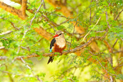 Chestnut-Bellied Kingfisher in Africa Royalty Free Stock Images