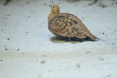 Chestnut-bellied sandgrouse Royalty Free Stock Photography