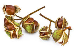 Free Chestnut Berries Stock Photography - 25778912