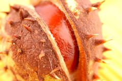 Chestnut berry Royalty Free Stock Images