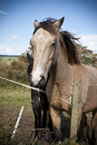 Chestnut and black Irish horses Royalty Free Stock Photos