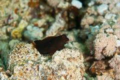 Chestnut blenny. (cirripectes castaneus)taken in the red sea royalty free stock photos