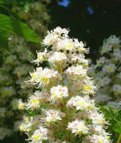 Chestnut. Blooming candle chestnut. Looks very nice Stock Photo