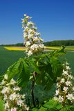 Chestnut Blossom Royalty Free Stock Images