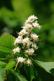 Chestnut blossom Royalty Free Stock Image