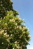 Chestnut blossom Stock Images