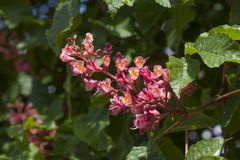 Chestnut blossom. Red Chestnut blossom on a tree royalty free stock photos