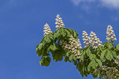 Chestnut blossom. In spring against a blue sky stock photo
