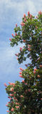 Chestnut blossoming. Part of spring blossoming chestnut tree on sky background. Five shots composite picture Stock Image