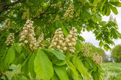 Chestnut blossoming in a green field below a blue cloudy sky royalty free stock images