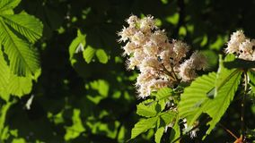 Close-up of a chestnut inflorescence. a chestnut tree leaves, on a sunny day. Shot in 10bit 422. Chestnut. Blossoming chestnut. On the waving branches are the stock video