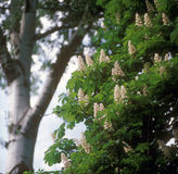 Chestnut blossoms. Blooming of chestnut tree (Aesculus hippocastanum) in the spring Stock Images