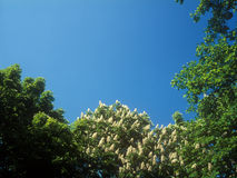 Chestnut blossoms. Royalty Free Stock Image