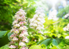 Chestnut blossoms Stock Image