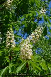Chestnut blossoms in spring Royalty Free Stock Photo