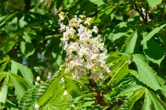Chestnut blossoms in spring Stock Photo