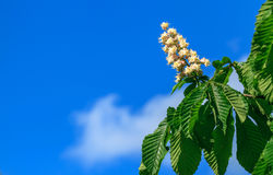 Chestnut and blue sky. Spring and chestnut flowers are trying to reach blue sky. Green leaves of chestnut Royalty Free Stock Photos