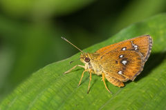 Chestnut Bob buttefly. Iambrix salsala,[2] the chestnut bob, is a butterfly belonging to the family Hesperiidae, that is found in Asia and parts of Southeast Stock Image
